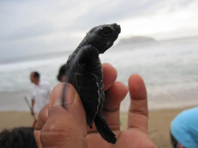 Befreiung Schildkröten Mexiko