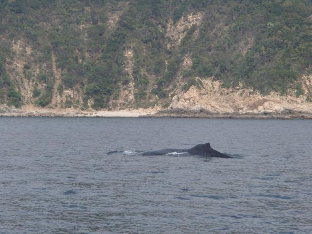 Whale Watching Mexiko Manzanillo