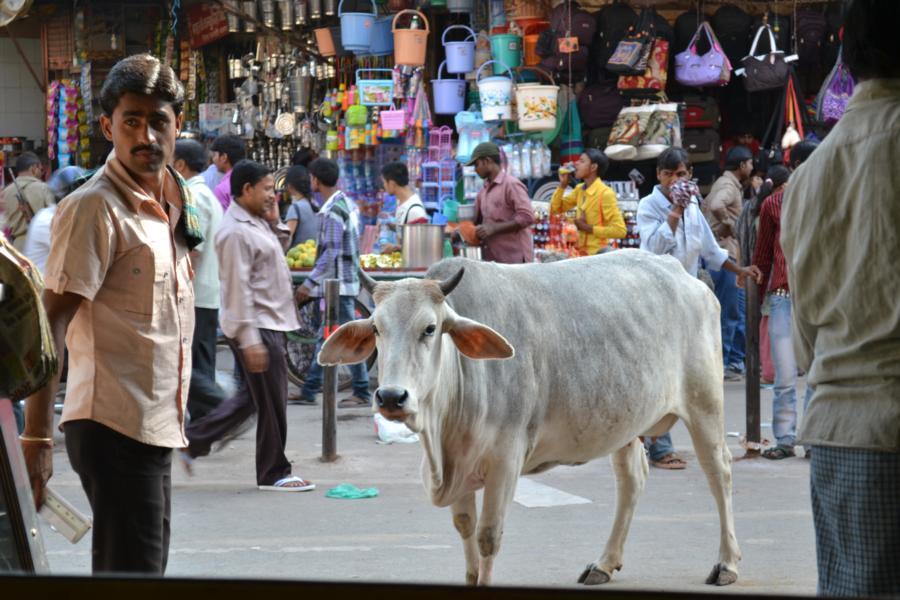 Ein Stück Heimat in der Fremde – Oder: Wenn dir eine Kuh vor die Linse hüpft