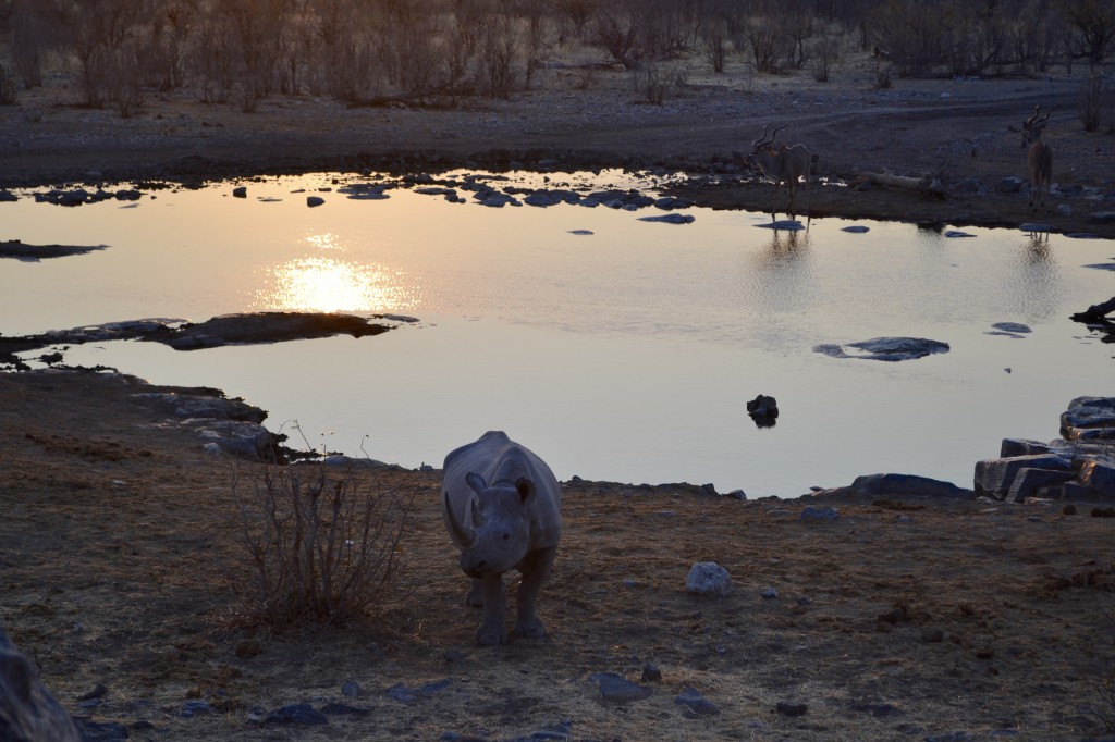 Nashorn in Namibia